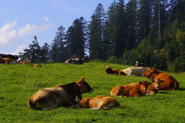 Vacas pastando en prados suizos