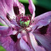 Oriental poppy 'Pink'