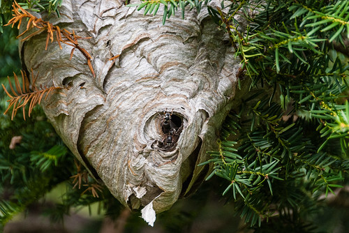 Wasp nest - #266/365 by PJMixer