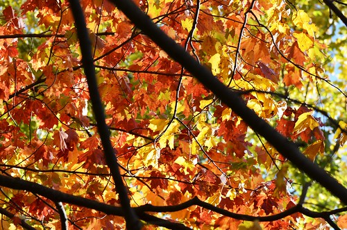 autumn fall colors leaves colorful stainedglass glowing smokies greatsmokymountains gsmnp jennypansing
