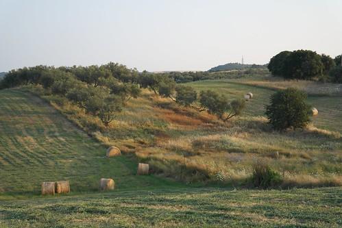 Olivenhain und Weideland