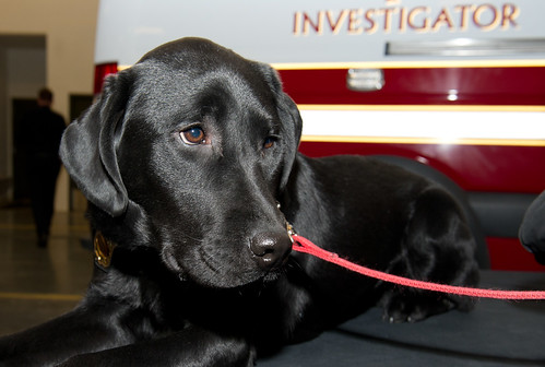 Accelerant Detection Dog Gibbs introduction-7759