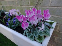 Cyclamen as maman liked them by Julie70