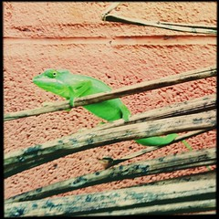 Caméléon vert fluo.