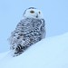 Harfang des neiges / Snowy Owl by Eric Bégin