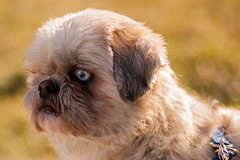 dog breed, animal, puppy, dog, pet, griffon bruxellois, lhasa apso, shih tzu, carnivoran,