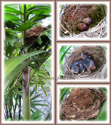 Pycnonotus goiavier (Yellow-vented Bulbuls): from eggs, nestlings to empty nest