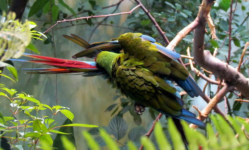 118 Military Macaw Biodome Montreal Canada 3191
