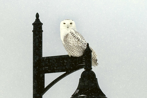 1-14 Snowy Owl-0281-Edit-1