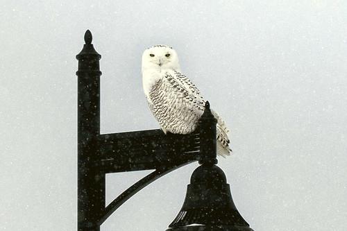 1-14 Snowy Owl-0281-Edit-1