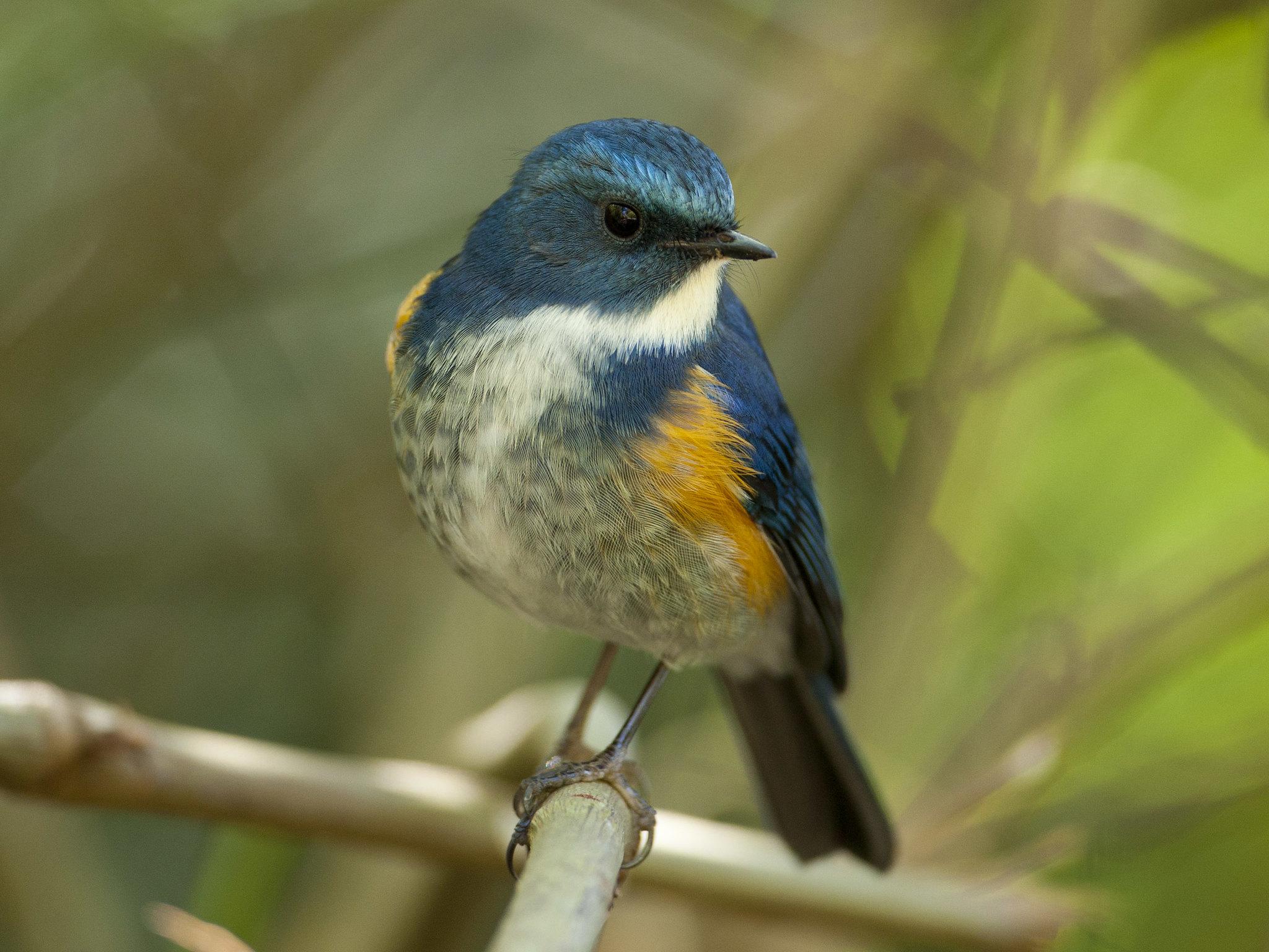 เขนน้อยพันธุ์หิมาลัย Himalayan Bluetail (male) - Tarsiger rufilatus
