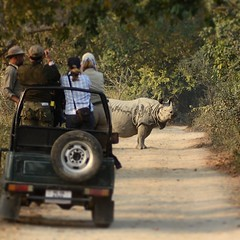 Why did the rhino cross the road? This greater one-horned rhino in India's Kaziranga National Park may have wanted a clearer view of tourists in their vehicle.