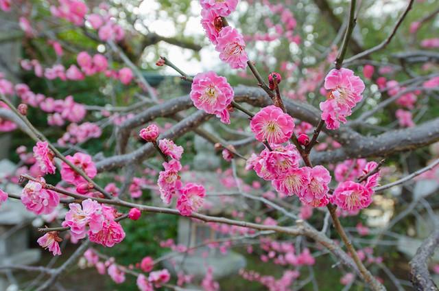 Cherry blossoms in Japan - Kitano-Tenman-gu shrine in Kyoto