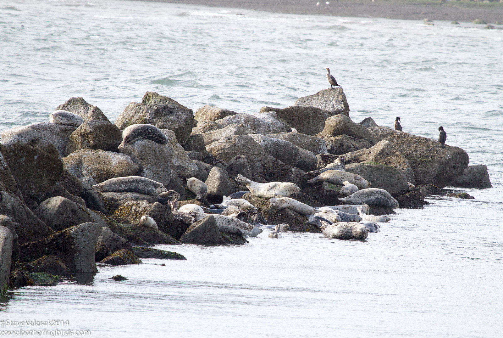 Seals and Cormorants