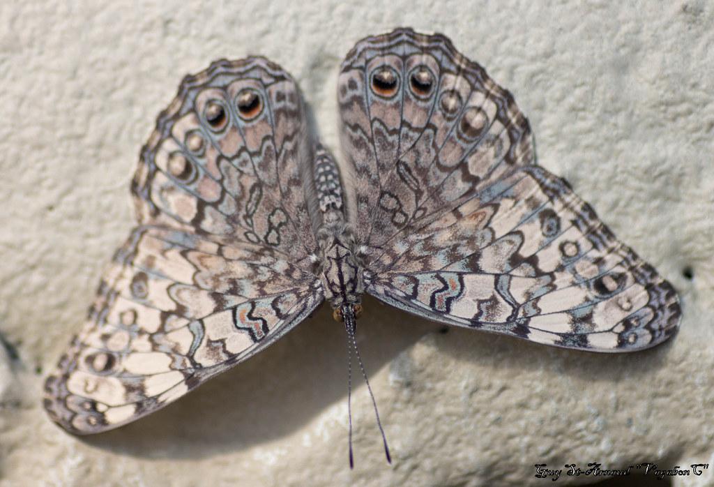 Papillons  13643713863_250abb4a3f_b