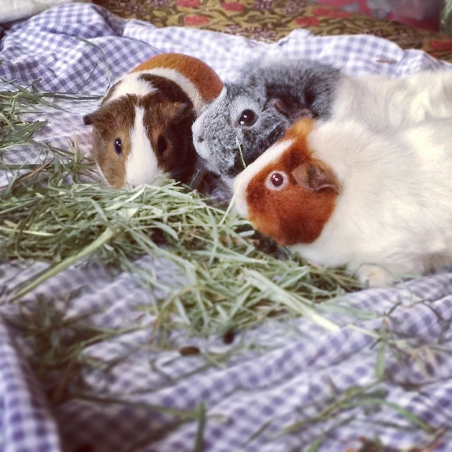Claudia, Beatrice, and Annabelle. #guineapig #cavy