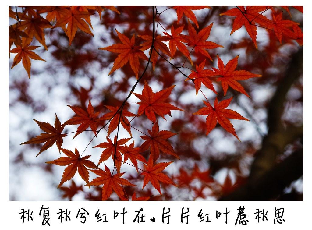 谢谢balapapapa的帮助!图片终于可以上传了:年前虞山楓葉