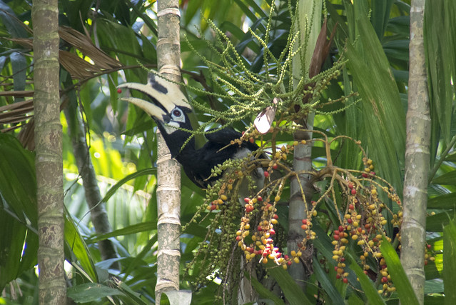 Oriental pied-hornbill (Anthracoceros albirostris) eating palm fruits