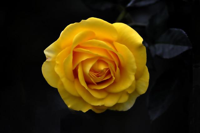 _DSC0199 Rose