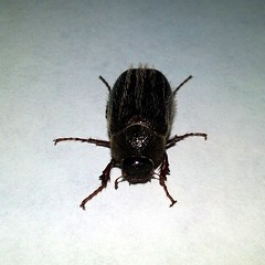 May Beetle, Genus Phyllophaga