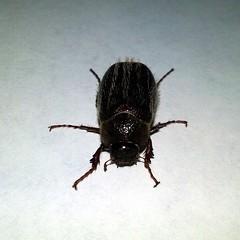 May Beetle, Genus Phyllophaga