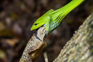 Ahaetulla prasina, Asian vine snake - Kaeng Krachan National Park
