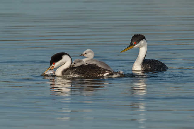 Mixed marriage (Clark's and Western grebe) family