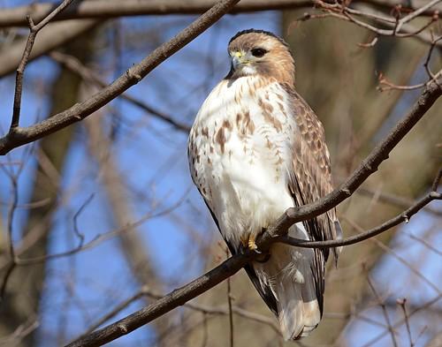 birds birdsofprey raptors hawks hawkredtailed redtailedhawk nikon nikond7100 tamronsp150600mmf563divc jdawildlife johnny portrait whatbirdbestofday