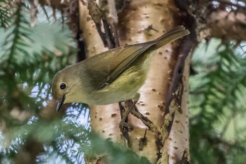 bird scrubwren largebilledscrubwren sericornismagnirostris rainforest tamborinemountain scenicrim hinterland