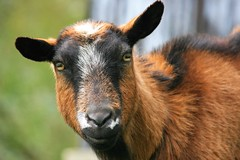 Black and brown goat - Photo of Husson