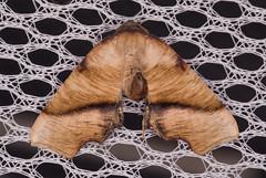 Fervid Plagodis Moth