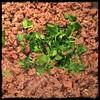 #GroundBeef #Beef #Peas #Homemade #CucinaDelloZio - add fresh parsley