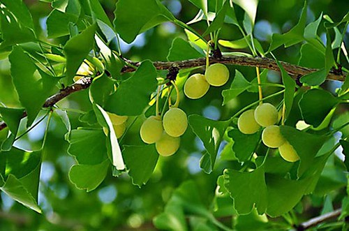 Medicinal effects from Ginkgo tree