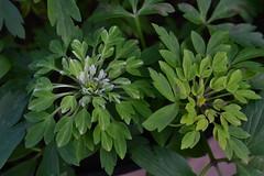 ANEMONE nemorosa 'Viridiflora'