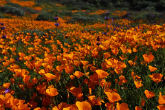 California Poppies, Diamond Valley Lake
