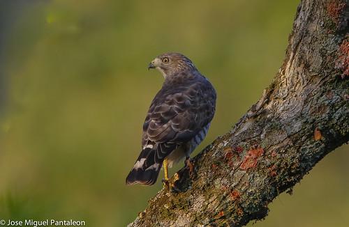 1-También llamada Águila Cueresmera en el Tolima, migratoria que puede ser observada en Colombia de octubre y abril. Su nombre significa Gavilán de alas anchas y deriva del témino Buteo = Gavilán y de la raíces griegas Platus: Ancho y Pteron: Ala.