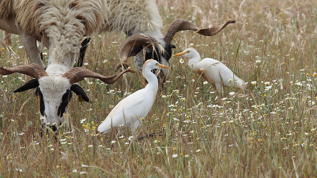 Cattle egrets - Koereigers