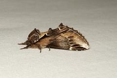 Pheosia rimosa (Black-rimmed Prominent Moth) - Hodges # 7922