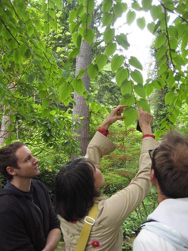 Admiring Tetracentron sinensis