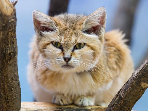 Lying sand cat by Tambako the Jaguar