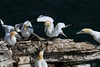 Gannet discussion group  Bempton 13.6.2013 (1)
