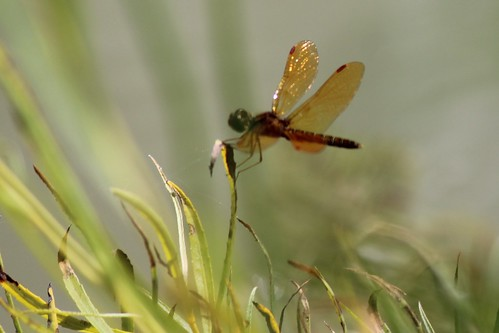 IMG_0447a_Golden_Winged_Dragonfly