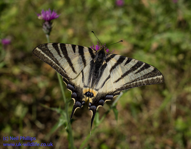 scarce swallowtaill butterfly with 35mm macro