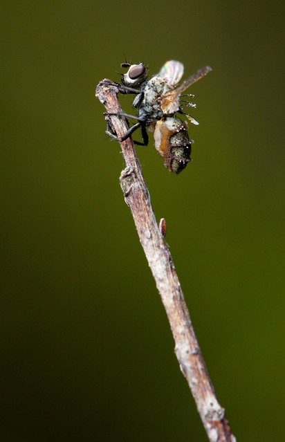 A fly killed by the fungus Entomophthora muscae (side view)