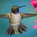 Black-chinned Hummingbird (Archilochus alexandri) by ER Post