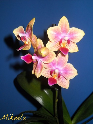 Orhideea Anului 2013 ... 9456075353_c1577cff7b