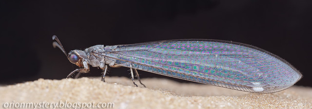 adult antlion IMG_9730 merged copy