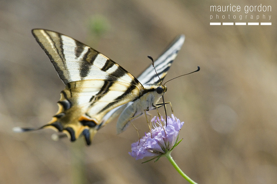 scarce swallowtail-ceret_DSC4659