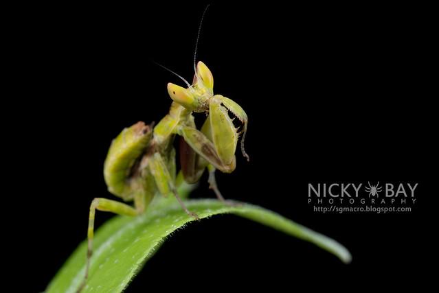 Flower Mantis nymph (Hymenopodidae?) - DSC_3684