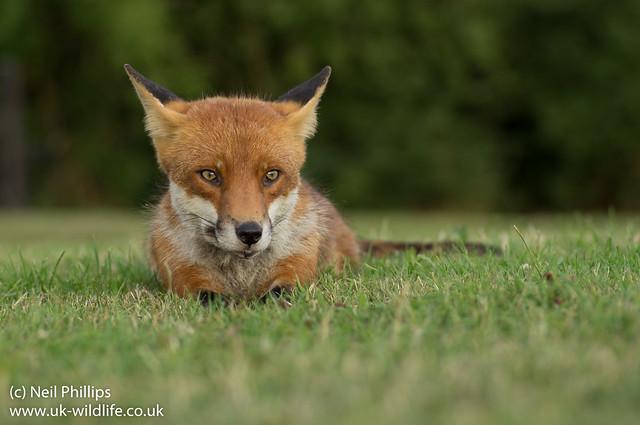 fox lying down-8
